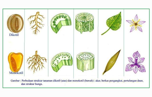 Angiospermae (Tumbuhan Biji Tertutup)