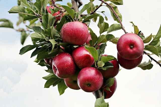 33 Manfaat Apel Merah Plus Kandungan dan Bahayanya [Lengkap]