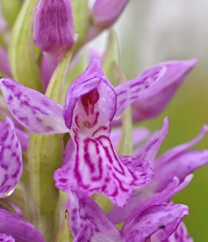 Orchis de fuchs et incarnat