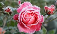 Rose imWinter