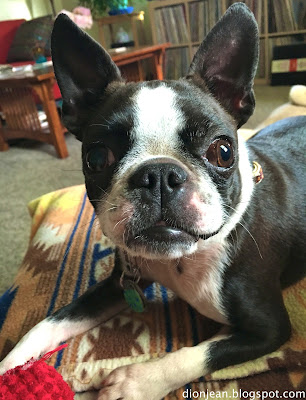 Sinead the Boston terrier looking curious