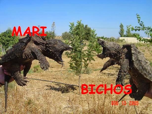 Macrochelys temminckii