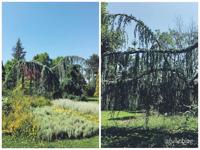 ters aşılı ağaç