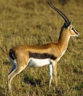 Thomson´s Gazelle