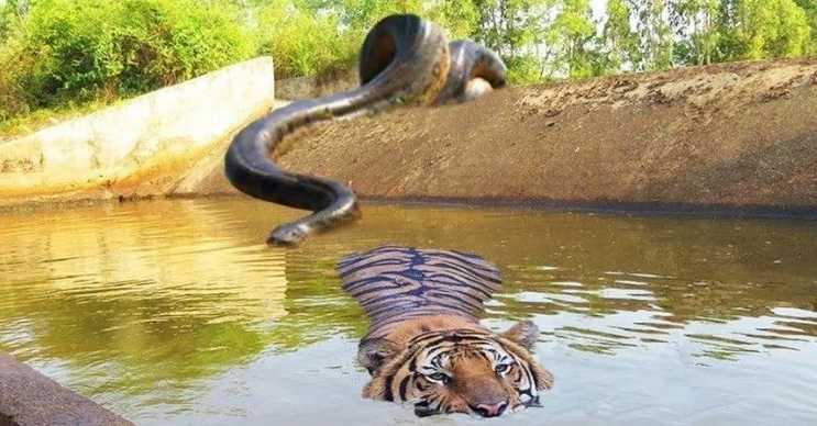 Yeşil anakonda günümüzün Titanoboa yılanıdır, yaşayan en büyük sürüngendir.