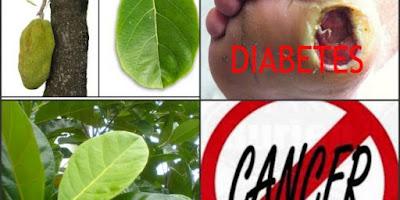 Tanaman Obat Anti Kanker, Tanaman Obat Anti Diabetes,  Tanaman Obat Bisul, Antioksidan dan mencegah penuaan dini