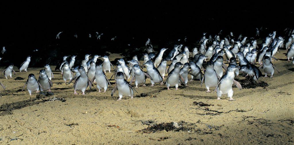 Penguin di Melbourne Traveloka