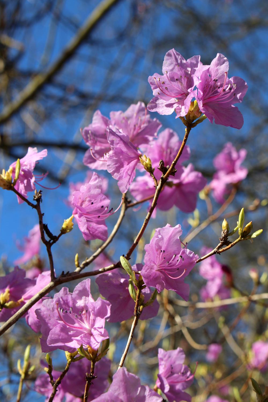 Rhododendron Mucronulatum, Berlin Botanical Garden - travel & lifestyle blog