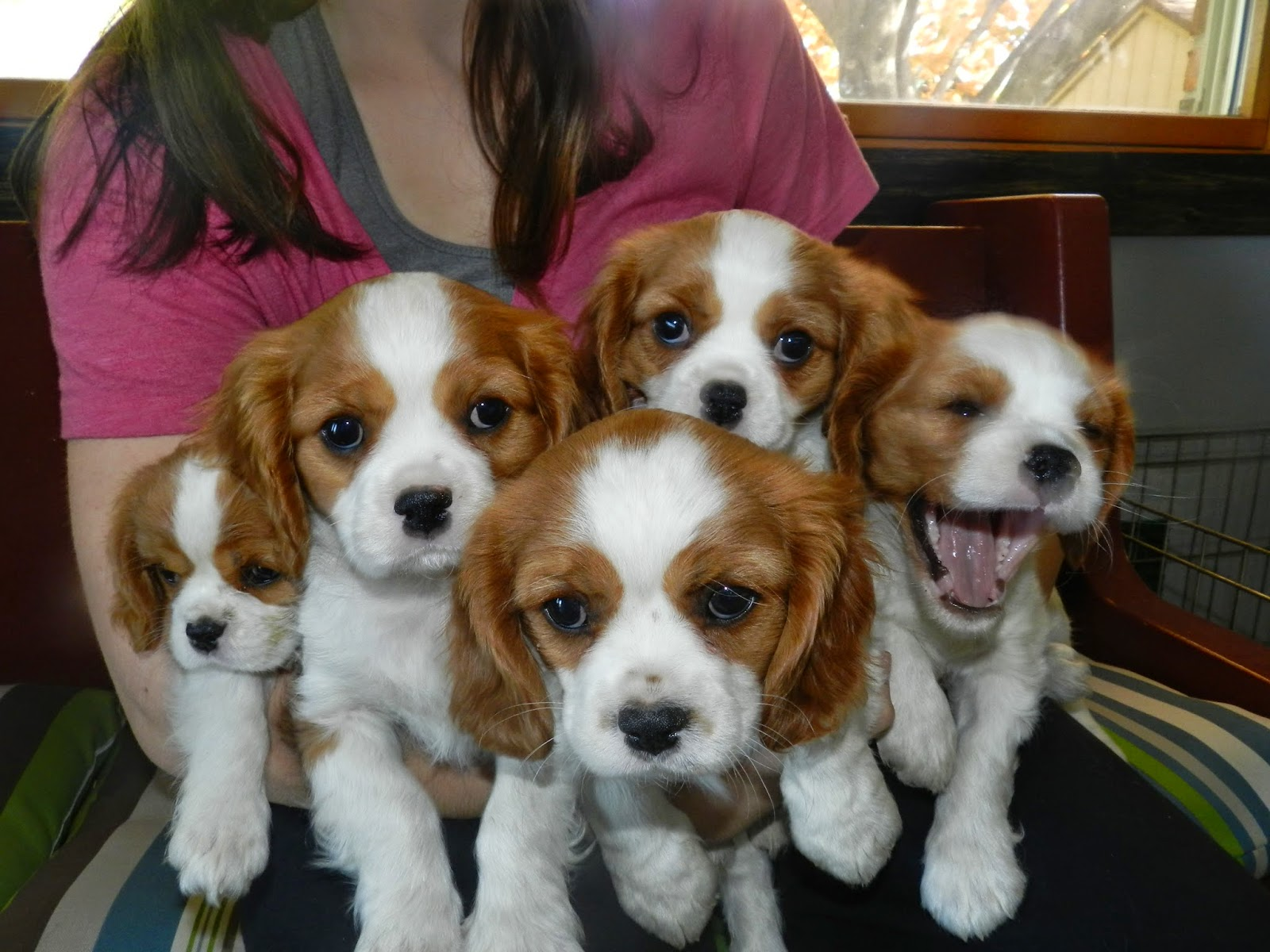 Freewall Cavalier King Charles Spaniel Wallpapers