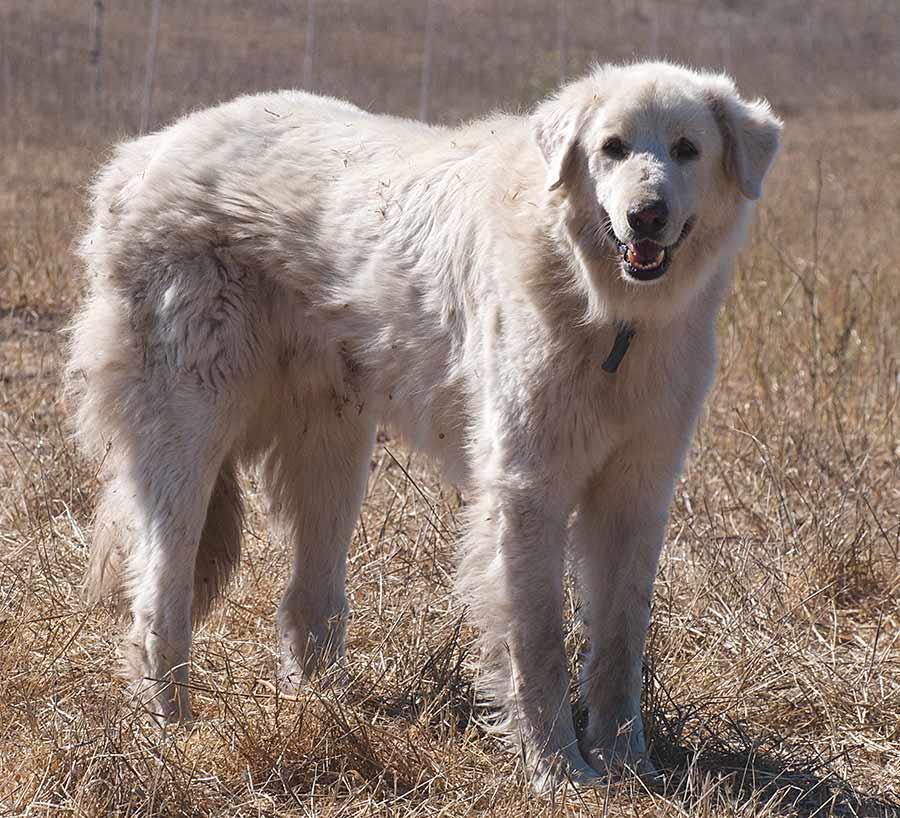 Large Bear Like Dog Breed