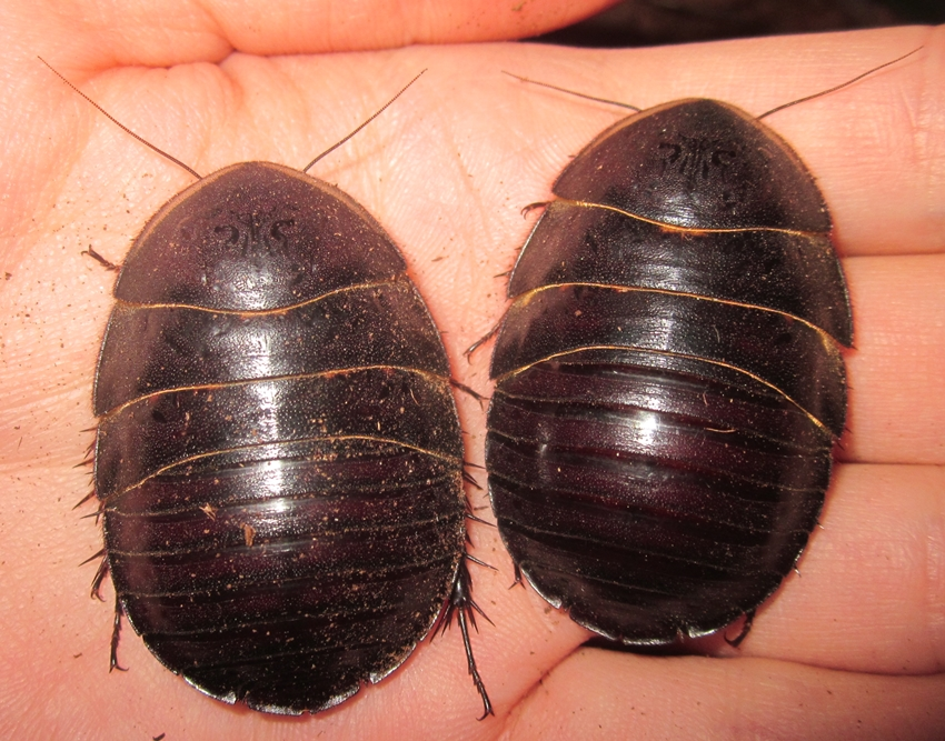 Hisserdude's Roaches - Page 2 PolySauss%25231
