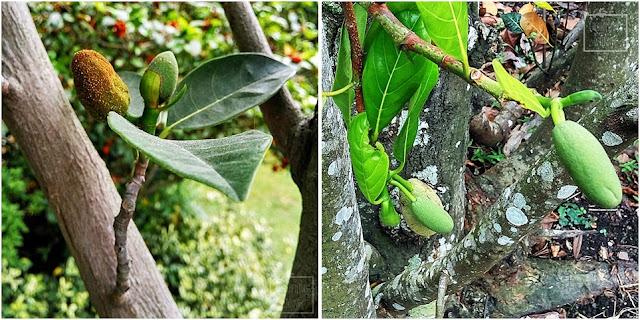 Jackfruit, dżakfrut (Artocarpus heterophyllus), inaczej drzewo bochenkowe, chlebowiec różnolistny - największy owoc świata, jak wyglada, jak rośnie, kwitnie i owocuje. Opis, uprawa, historia, pochodzenie, hodowla w domu z nasiona, rozmnażanie, podlewanie, nawożenie. Gdzie rośnie jackfruit? Jak uprawiać dżakfruta? Z nasiona, z pestki uprawa egzotycznego owocu. Tropikalne rośliny owocowe z nasion.