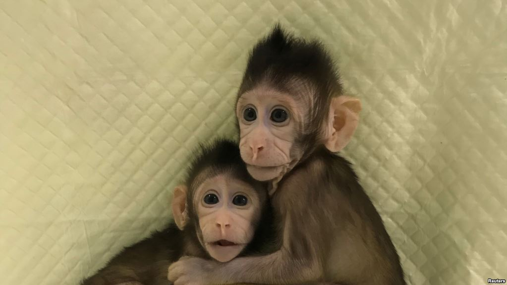 Zhong Zhong y Hua Hua son dos monas que nacieron hace ocho semanas / REUTERS