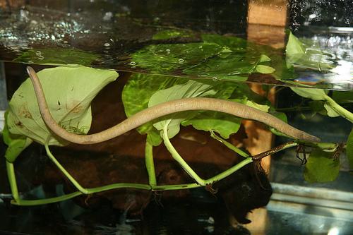Amphibians: Aquatic Caecilian