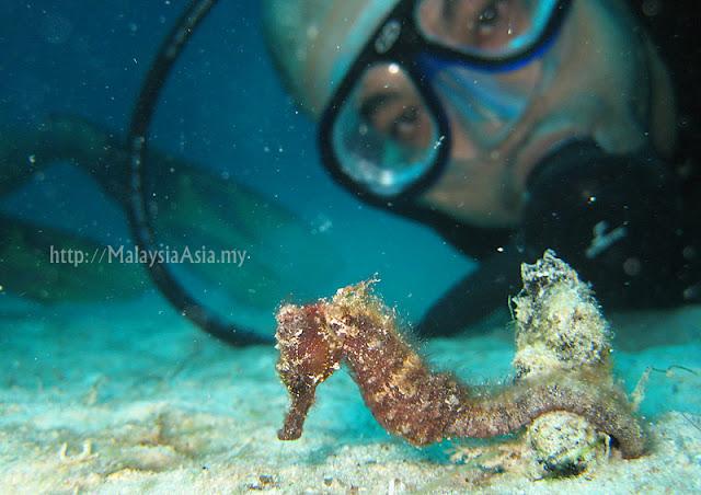 Mabul Hairy Seahorse Photo