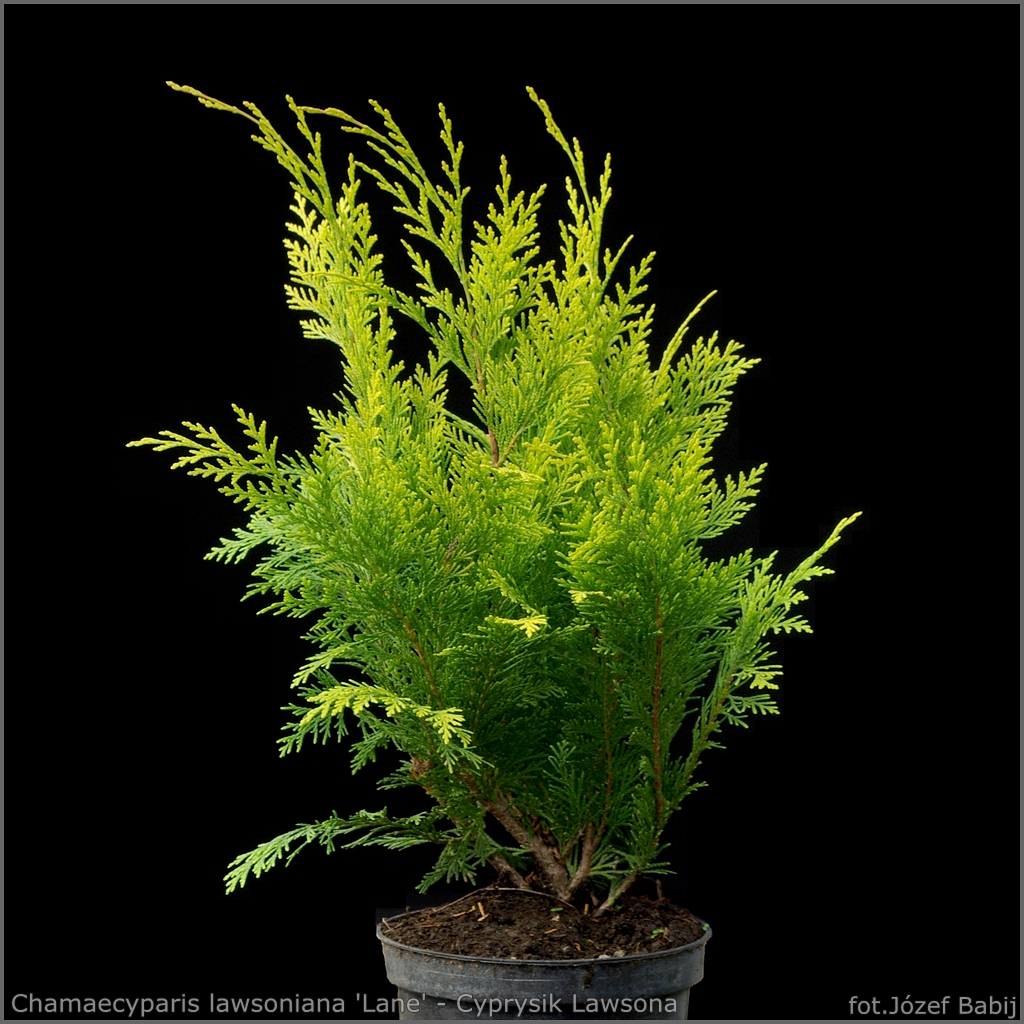 Chamaecyparis lawsoniana 'Lane' - Cyprysik Lawsona 'Lane'