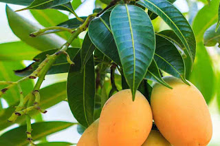 Benefits of Mango Leaves For Healthy Body