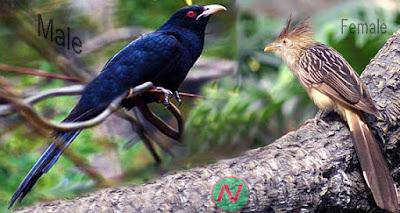 cuckoo bird, কোকিল