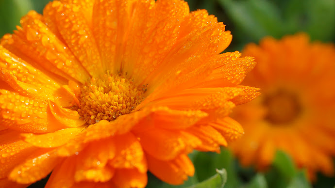 Wallpaper: Flower Orange Calendula Macro