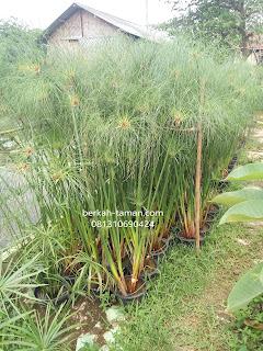 tanaman air papyrus