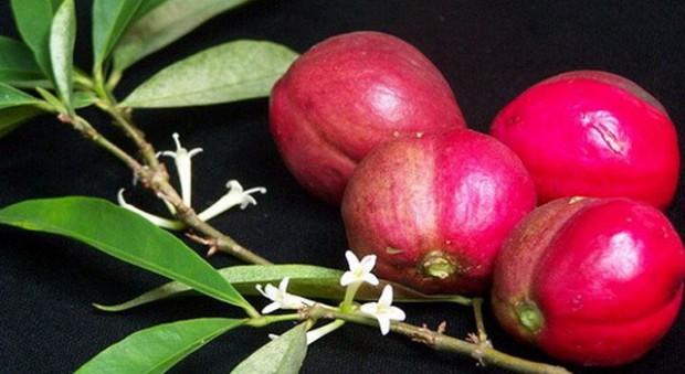 Manfaat Dari Buah Mahkota Dewa Bagi Kesehatan Tubuh, khasiat dari buah mahkota dewa untuk tubuh