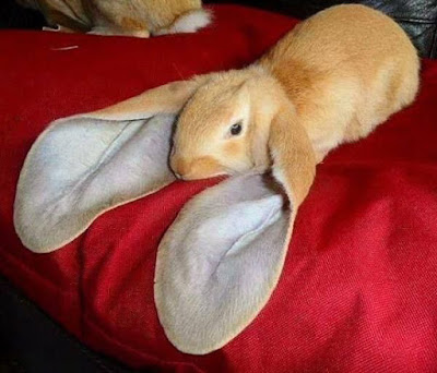 Lop Ear Rabbits