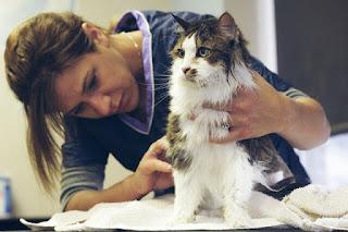 Cara Memandikan Kucing Anggora di Rumah Dengan Baik