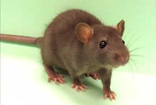 Todo sobre los ratones, toda la información