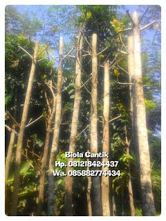 Tukang Taman jual pohon peneduh Ketapang biola cantik Batang besar harga murah