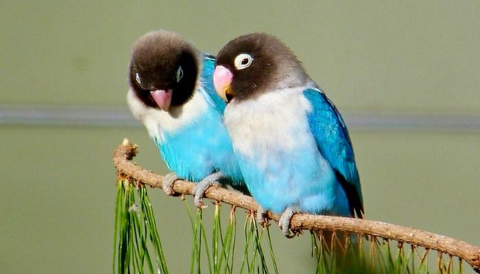 Burung lovebird termahal