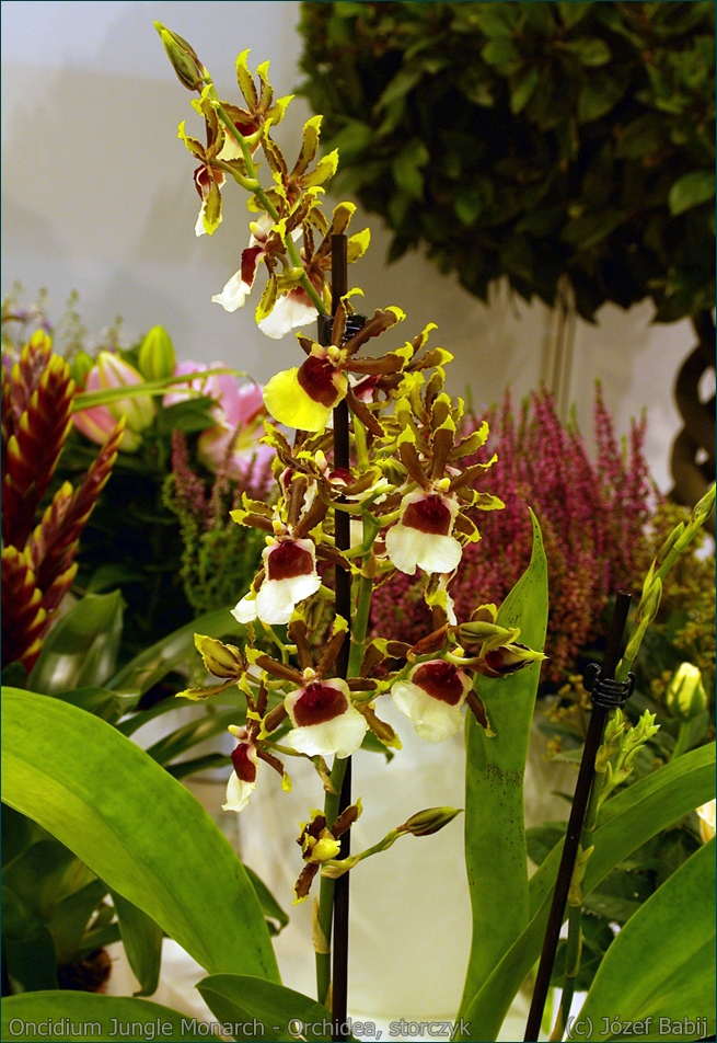 Colmanara Jungle Monarch          Odontocidium Jungle Monarch Oncidium Jungle Monarch - Orchidea, storczyk