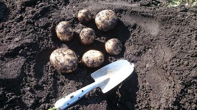 ジャガイモ1株での収穫量