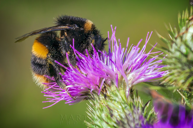A large bumblebee sits on a purple flower while covered in pollen