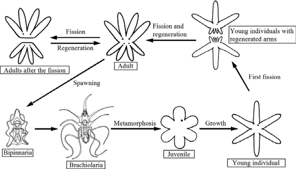 Brittle star asexual reproduction definition