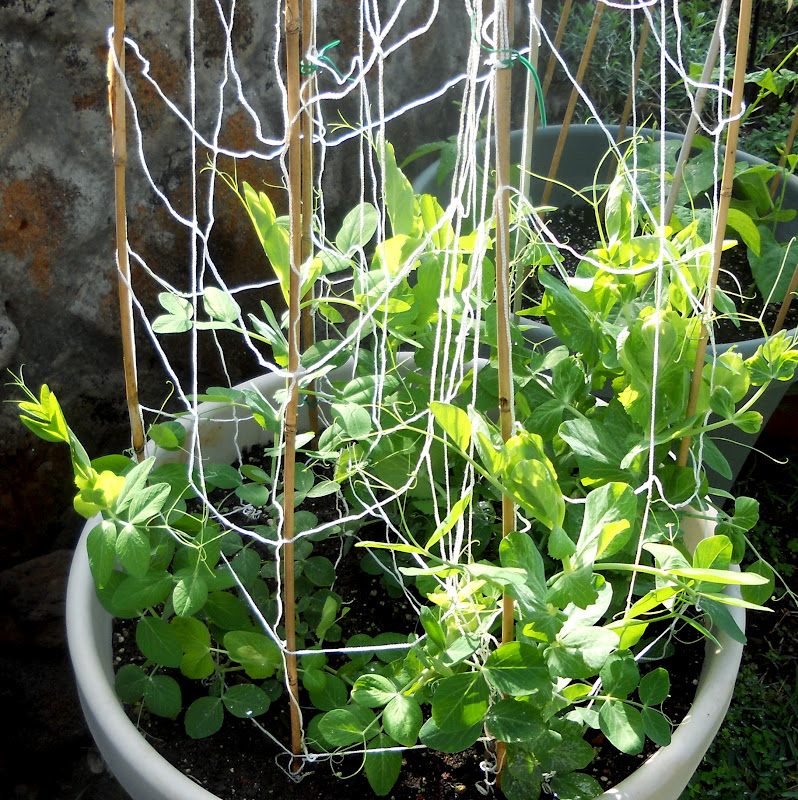 Growing Garden Peas: A Kitchen Garden In Kihei Maui: Growing Heirloom Snow
