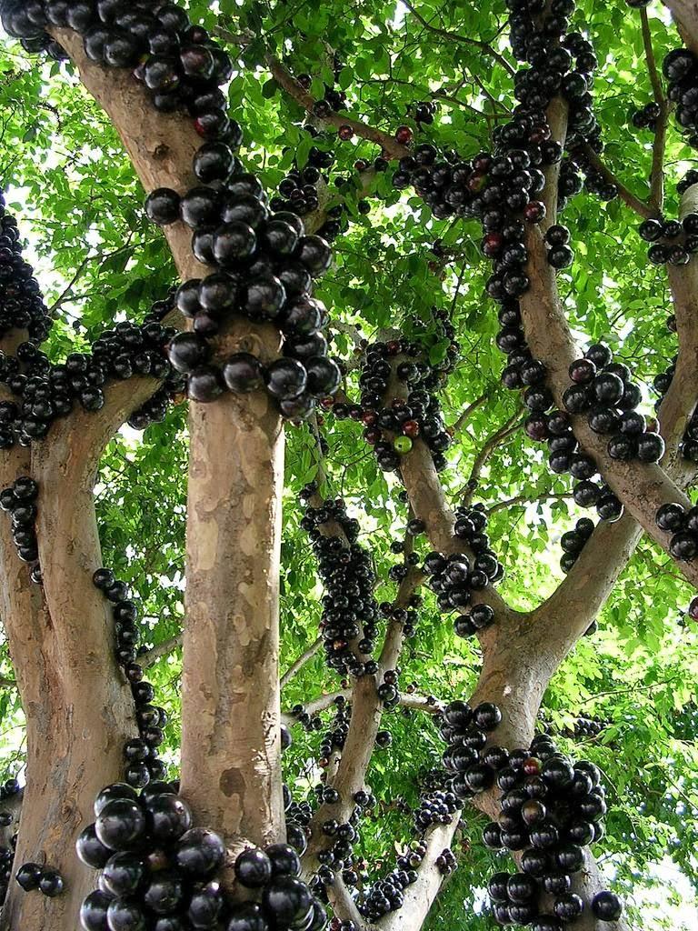 jabuticaba u2013 the tree that fruits on its trunk kuriositas