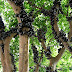 Jabuticaba – The Tree that Fruits on its Trunk