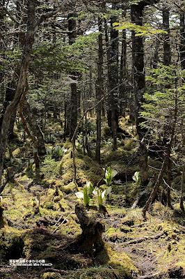 落石岬湿原の林床にはミズバショウと ミズゴケが広がっています ≪Asian skunk cabbage≫