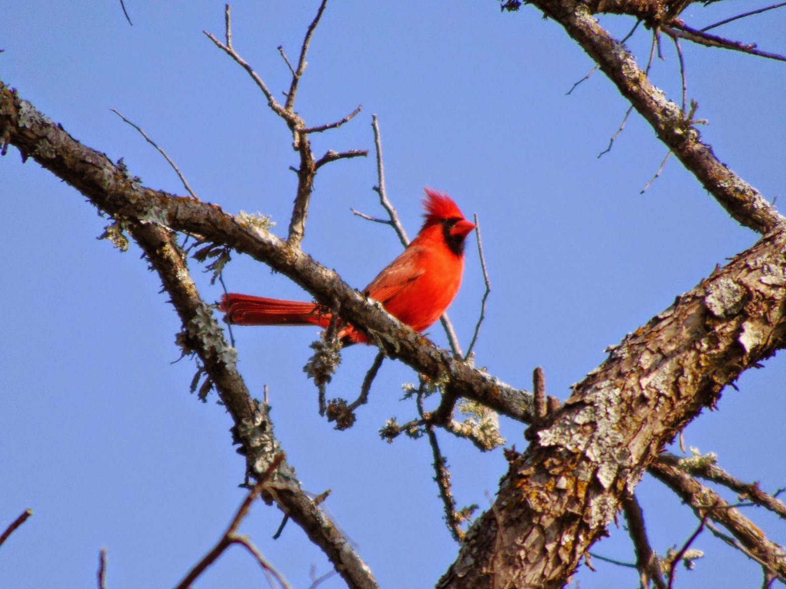 Cardinal in tree against blue sky in Texas green landscape