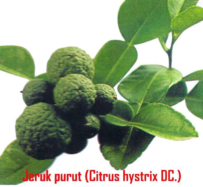 Oriesz Group: Daun Jeruk Purut
