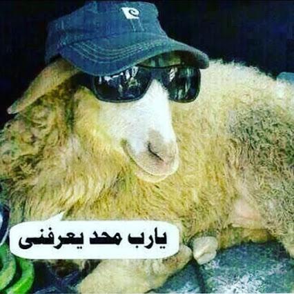 صور خروف العيد 2020 صور مضحكة جدا مصراوى الشامل