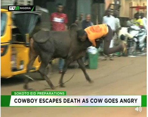 Cowboy Escapes Death After Being Attacked By Angry Cow In Sokoto
