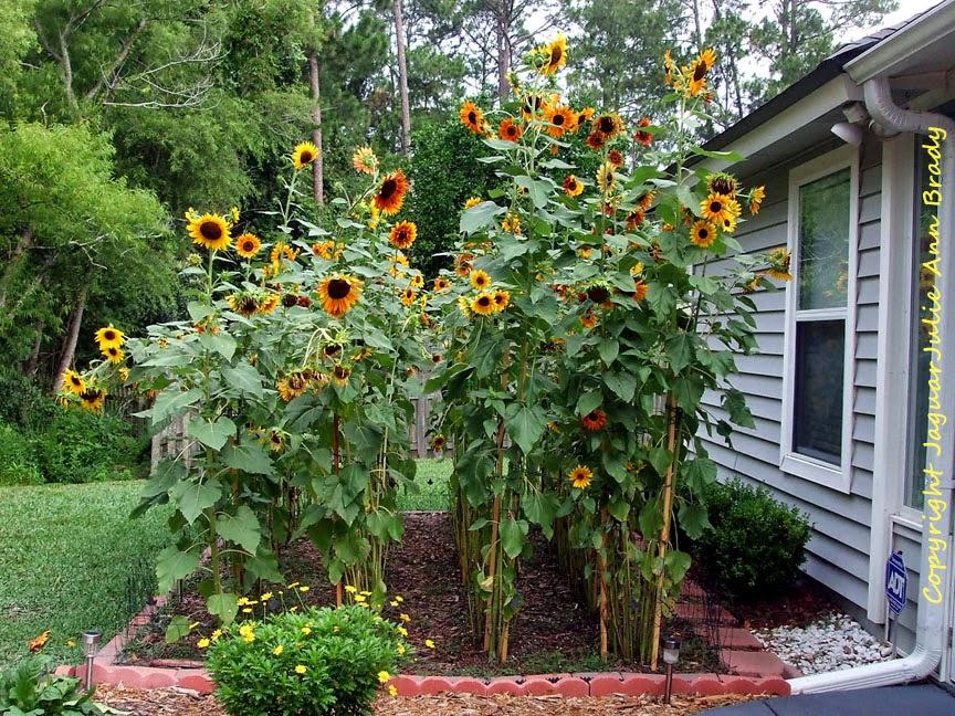 My Sunflower Garden at 9 Feet at 90 Days