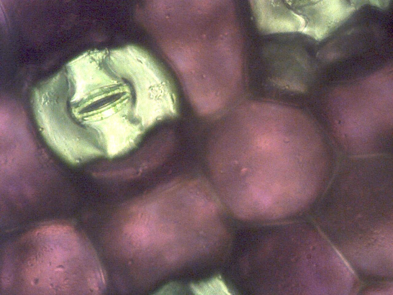 Stomata Biological Drawing