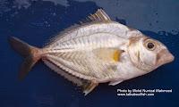 Spotnape Ponyfish