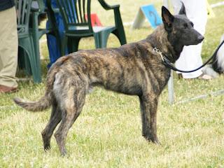 Dutch Shepherd-pets-dog breeds-dogs