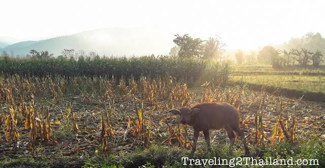 Young buffalo in Nan - Thailand