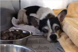 Depressed senior chihuahua shaking at kill shelter, left with no more tears to cry