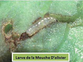 larve de la mouche d'olivier