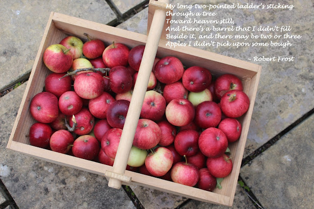 Freshly picked apples in my trug
